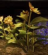 Dreamwort