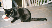 Manchester-Tippy-Black-with-white-tip-tail