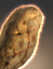 Andorian Tuber Root icon.png