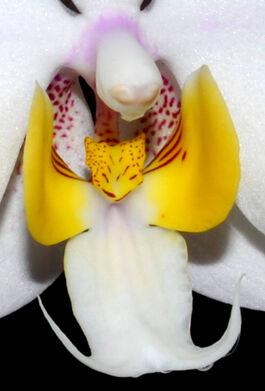 Phalaenopsis philippinensis budowa.jpg