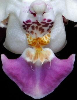 Phalaenopsis parishii budowa.jpg