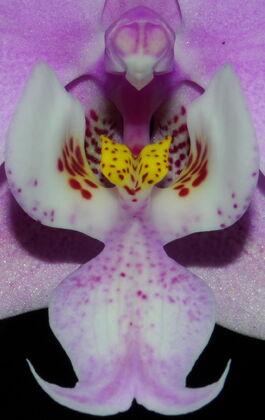 Phalaenopsis schilleriana budowa.jpg