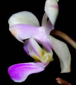 Phalaenopsis hainanensis budowa2.jpg