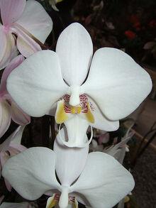 Phalaenopsis philippinensis.jpg