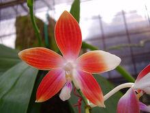 Phalaenopsis speciosa.jpg