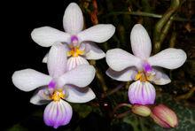 Phalaenopsis lindenii.jpg