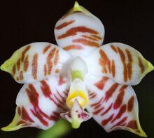 Phalaenopsis amboinensis.jpg
