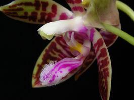 Phalaenopsis corningiana budowa.jpg