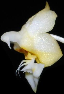 Phalaenopsis gibbosa budowa2.jpg