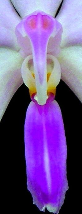 Phalaenopsis lowii budowa.jpg