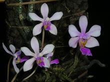 Phalaenopsis wilsonii1.jpg