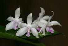 Phalaenopsis fimbriata.jpg