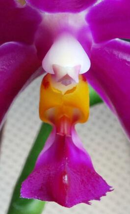 Phalaenopsis pulchra budowa.jpg