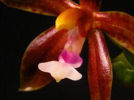 Phalaenopsis borneensis budowa.jpg