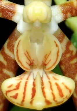Phalaenopsis kunstleri budowa.jpg