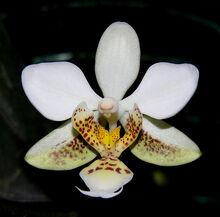 Phalaenopsis stuartiana.jpg