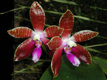 Phalaenopsis corningiana.jpg