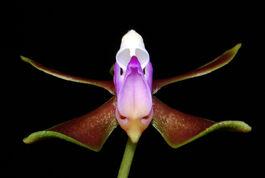 Phalaenopsis braceana budowa.jpg