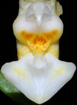 Phalaenopsis gibbosa budowa.jpg