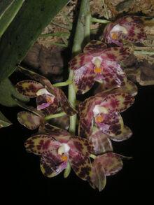 Phalaenopsis gigantea.jpg