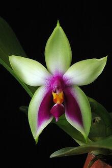 Phalaenopsis bellina.jpg