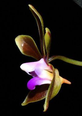 Phalaenopsis braceana budowa1.jpg
