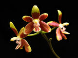 Phalaenopsis fuscata