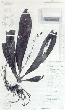 Phalaenopsis robinsonii.jpg