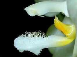Phalaenopsis micholitzii budowa2.jpg