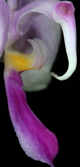 Phalaenopsis lowii budowa2.jpg