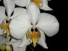 Phalaenopsis amabilis2.jpg