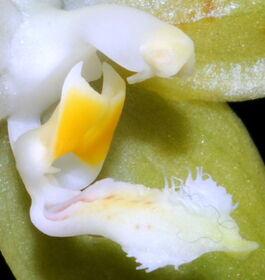 Phalaenopsis pallens budowa2.jpg