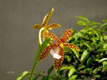 Phalaenopsis borneensis.jpg