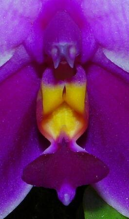 Phalaenopsis bellina budowa.jpg