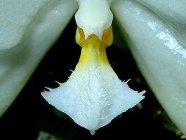 Phalaenopsis micholitzii budowa.jpg