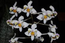 Phalaenopsis celebensis.jpg