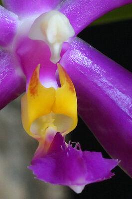 Phalaenopsis pulchra budowa2.jpg