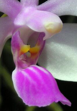 Phalaenopsis wilsonii budowa2.jpg