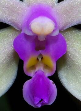 Phalaenopsis stobartiana budowa.jpg