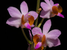 Phalaenopsis regnieriana.jpg