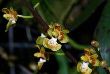 Phalaenopsis chibae.jpg
