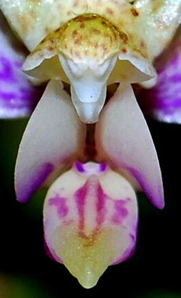 Phalaenopsis minus budowa.jpg