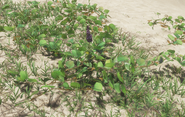 Ajuga plant