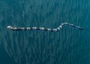 SeaSnake