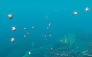 CopperbandButterflyFish