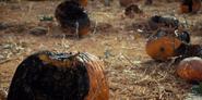 Rotten pumpkins