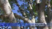 Camphor_tree_(Cinnamomum_camphora)
