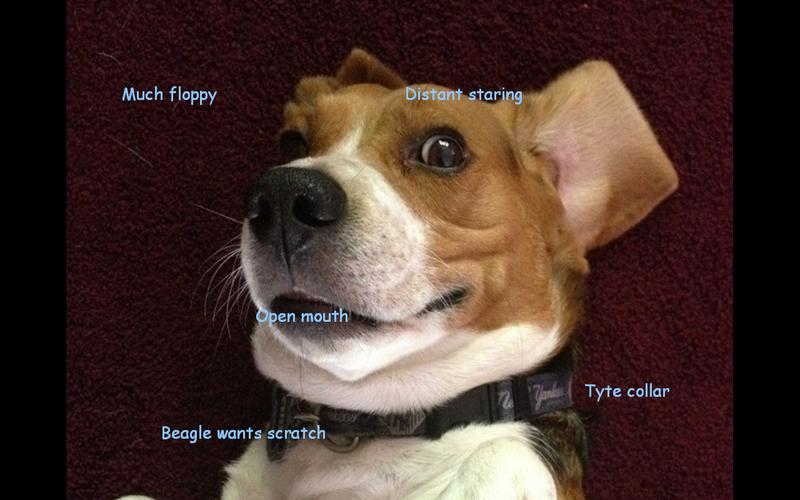 Beagle Doge