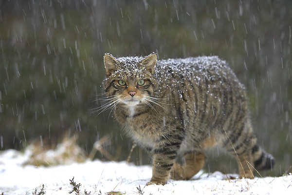 Wildcat (Disambiguation)