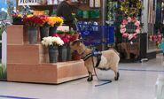 S04E15-Goat eats flowers